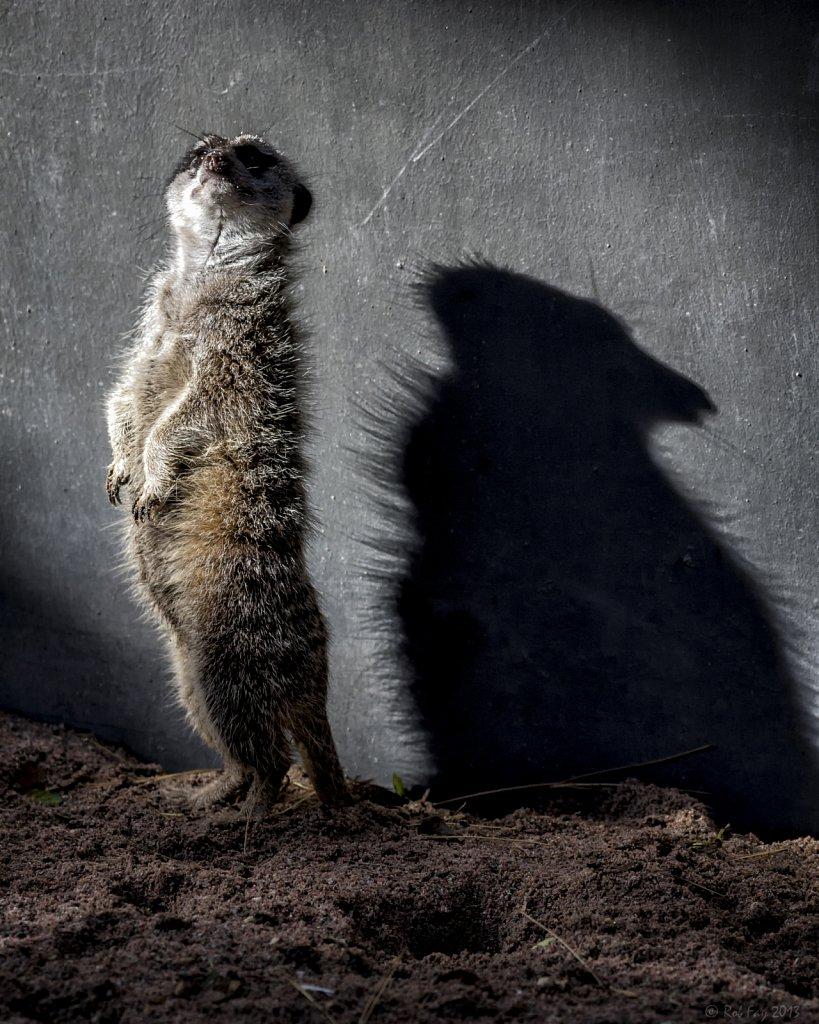 Meerkat and Shadow