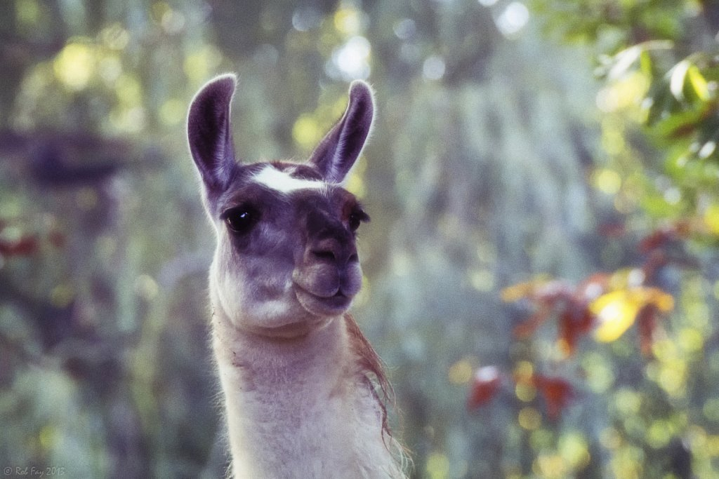 Llama in Autumn